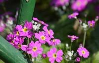 樱花草的花语是什么 樱花草的花语传说