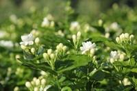 茉莉花的花语和传说,茉莉花在菲律宾被称为国花?