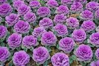 羽衣甘蓝的种植栽培方法与技巧大全,新手轻松学会