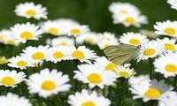 雏菊养护小技巧,被誉为具有君子风范的花朵?意大利国花