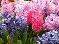 风信子的种植栽培方法,植株生长很整齐,是很有名的花卉之一