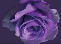 紫玫瑰的花语:忧郁、梦想、爱梦想;浪漫的真理和珍贵而独特