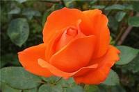 橙色玫瑰代表什么意思 橙色玫瑰的含义