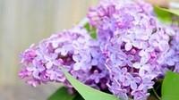 你知道紫丁香是什么吗?丁香的花语是什么?
