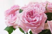 粉荔枝花语代表着忠贞不二,将其送给自己女朋友或者老婆,来表达自己一种忠心