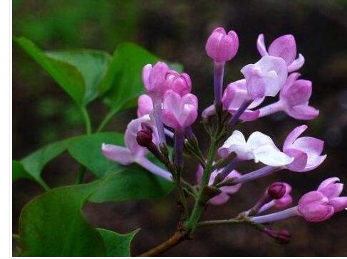 丁香花的花语是什么 各色丁香花花语大全