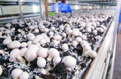 蘑菇在美爆红 消费者愈来愈认同蘑菇的健康与营养价值