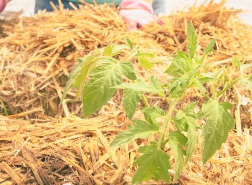 稻草包园艺使用大包作为种植的媒介好处是惊人的