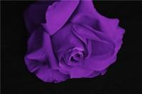 紫玫瑰花代表什么意义 紫玫瑰的含义