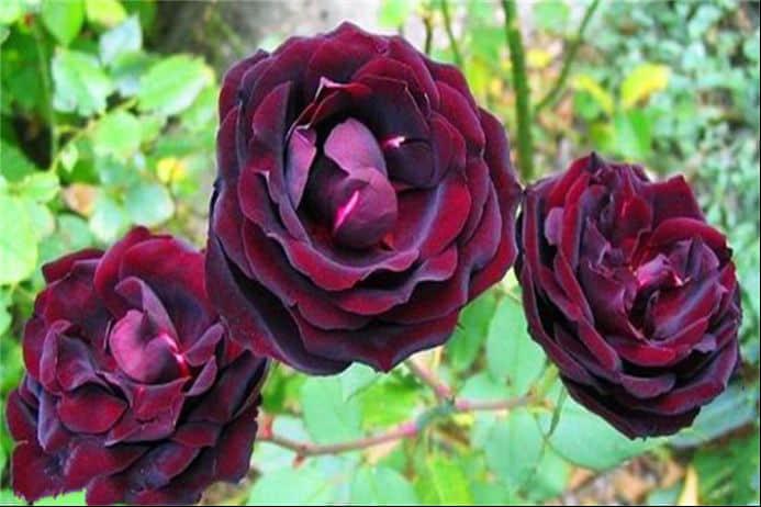 路易十四玫瑰被誉为爱情守护花 路易十四的种植管理方法