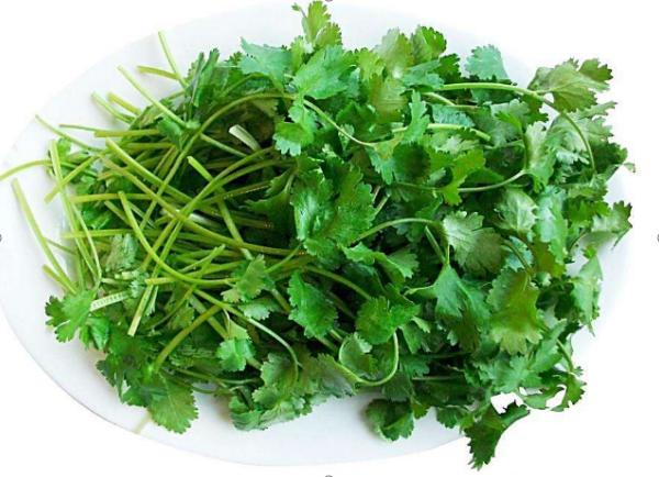 芫荽的种植方法 注意这些方面,都能种植出新鲜、绿色、无公害的芫荽