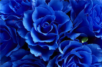 蓝玫瑰代表什么意思 蓝玫瑰的含义