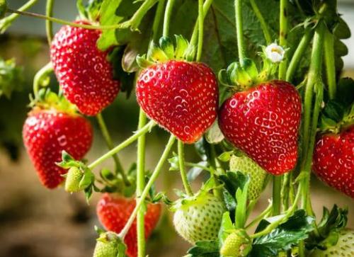 受疫情的影响 草莓的销售出现了价格降低、数量减少甚至滞销的情况