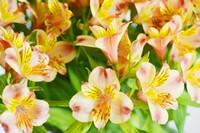 水仙百合的花语是什么?水仙百合的花期是多长时间?