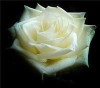 白玫瑰代表什么 白玫瑰的含义