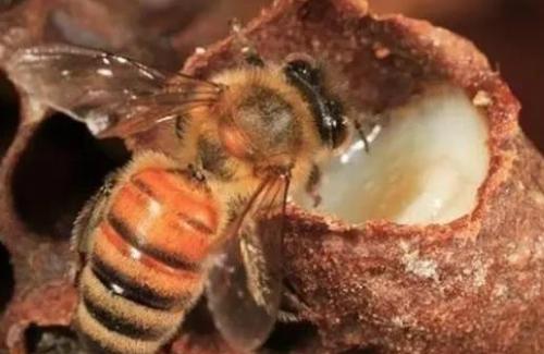 一个好王千斤蜜,意蜂人就发明了人工移虫育王的方法