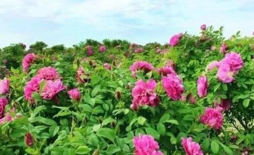 滨海这个村的村民好幸福!每天闻着玫瑰花香赚钱