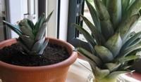 菠萝头种植,种菠萝头多久能长菠萝