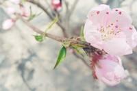 桃花的品种有哪些 观赏桃花