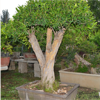 盆栽石榴树修剪图片