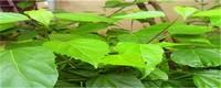 豆腐树的扦插法