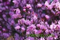 北朝鲜国花是什么花,迎红杜鹃(金达莱)怎么养
