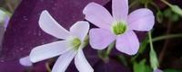 紫叶榨浆草扦插方法