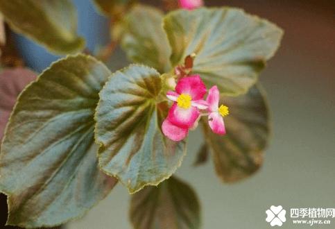 四季秋海棠有毒吗?你的四季秋海棠放卧室里了吗?