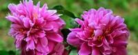 宿根花卉有哪些