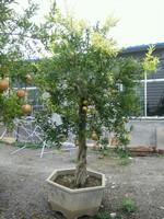 盆栽石榴树图片