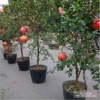石榴籽盆栽图片