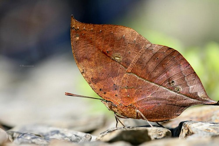 枯叶蝶是花吗?(是蝶)枯叶蝴蝶图片欣赏