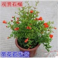 盆栽石榴苗图片