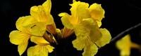 黄花风铃木花语是什么