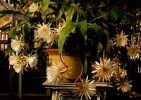 韦陀花一现很多人都喜欢观赏,那它是否有毒性能否放在室内呢?