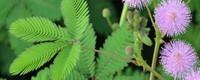 室内养含羞草是否有毒呢?