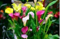 彩色马蹄莲的养护技巧是什么呢?注意