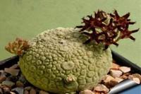 """多肉凝蹄玉怎么养?长得像石头一样的""""植物""""!"""