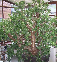 盆栽玉树客厅摆放图片
