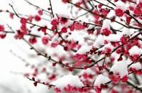 梅花的品质介绍,梅花的品质和精神常用于用借物喻人