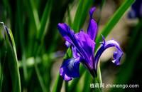 紫色马兰花图片