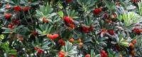 杨梅树是自花授粉吗