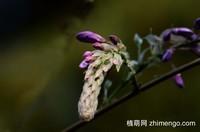 8张紫藤花图片
