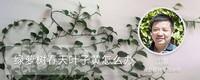 绿萝树春天叶子黄怎么办