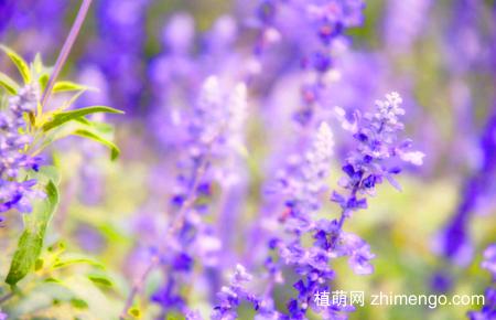 薰衣草什么时候开花,薰衣草开花花期6月到8月
