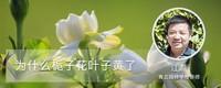 为什么栀子花叶子黄了