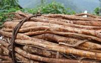 桑树根的功效与作用,老桑树根是个宝