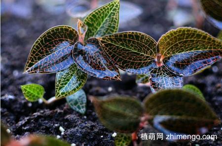 金线莲的栽培种植技术