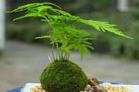 文竹叶子发黄怎么办?小编告诉你文竹怎么养远离黄叶枯枝