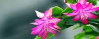 蟹爪兰的寓意和花语